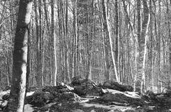 BOSQUE con los árboles de abedul en la montaña nevada Imagen de archivo libre de regalías