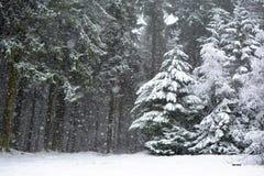 Bosque con los árboles de la conífera durante tormenta de las nevadas fuertes en invierno fotos de archivo libres de regalías