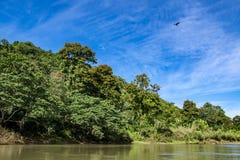 Bosque con los árboles de llama florecientes en Rio Grande, puerto Antonio, Jamaica imagenes de archivo
