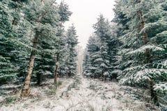Bosque con los árboles de pino en el invierno Imagenes de archivo