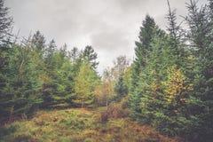 Bosque con los árboles del pino y de abedul Fotos de archivo