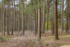 Bosque con los árboles jovenes del pino Imágenes de archivo libres de regalías