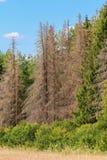 Bosque con los árboles muertos Imagenes de archivo