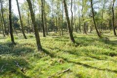 Bosque con los árboles y los arándanos de abedul Fotografía de archivo