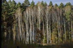Bosque con los abedules blancos en otoño en Polonia Imagen de archivo libre de regalías