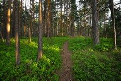 Bosque con los arbustos del arándano fotos de archivo libres de regalías