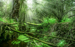 Bosque con los rayos del sol a través de los árboles Imagenes de archivo