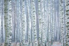 Bosque congelado del abedul Imagen de archivo libre de regalías