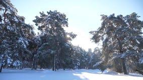 Bosque congelado del invierno con los árboles nevados de la forma de vida vídeo de la cámara lenta bosque del pino del invierno e almacen de video