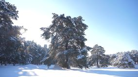 Bosque congelado del invierno con los árboles nevados vídeo de la cámara lenta Bosque del pino del invierno en el movimiento de l almacen de metraje de vídeo