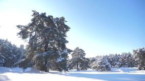 Bosque congelado del invierno con los árboles nevados vídeo de la cámara lenta Bosque del pino del invierno en el movimiento de l almacen de video
