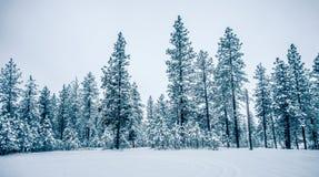 Bosque congelado frío blanco del invierno en el estado de Washington Fotos de archivo