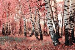 Bosque cor-de-rosa do vidoeiro imagens de stock
