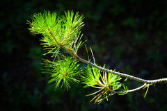 Bosque creciente de las agujas del detalle de la rama del pino Imagen de archivo libre de regalías