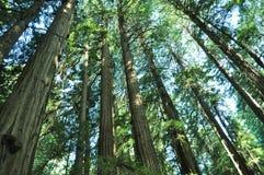 Bosque da árvore da sequoia vermelha Imagens de Stock Royalty Free