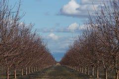 Bosque da árvore de amêndoa Imagem de Stock Royalty Free