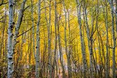 Bosque da árvore de Aspen, Califórnia fotografia de stock