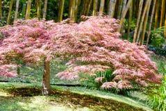 Árvore de bambu e árvore cor-de-rosa do arbuscle imagem de stock