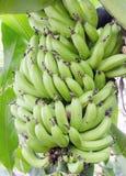 Bosque da banana de Cavendish do anão do grupo na estufa do conservatório da propriedade de Biltmore imagem de stock