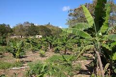 Bosque da banana em Cuba imagem de stock
