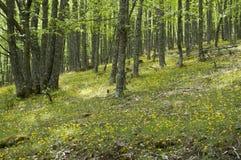 Bosque da castanha Fotos de Stock Royalty Free