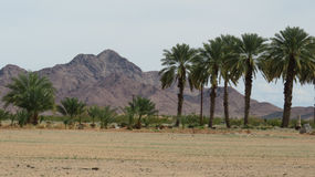 Bosque da data, o Arizona imagens de stock royalty free