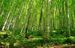 Bosque da faia Imagens de Stock Royalty Free