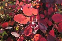 Bosque da imagem de arbustos vermelhos foto de stock royalty free