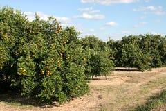 Bosque da laranja da borda da estrada imagens de stock royalty free