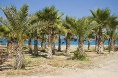 Bosque da palma em Chipre fotografia de stock royalty free