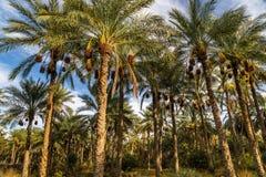 Bosque da palma em Tunísia imagens de stock