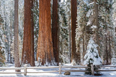 Bosque da sequoia gigante foto de stock