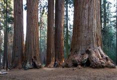 Bosque da sequoia gigante Fotos de Stock