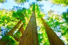 Bosque da sequoia vermelha em Califórnia norte. foto de stock