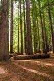 Bosque da sequoia vermelha nas molas de Hamurana foto de stock