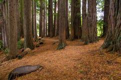 Bosque da sequoia vermelha nas molas de Hamurana imagens de stock royalty free