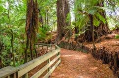 Bosque da sequoia vermelha nas molas de Hamurana imagem de stock