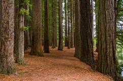 Bosque da sequoia vermelha nas molas de Hamurana fotografia de stock royalty free