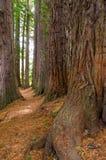 Bosque da sequoia vermelha nas molas de Hamurana imagens de stock