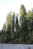 Bosque das árvores altas Imagens de Stock
