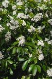 Bosque das flores brancas de uma árvore alaranjada mexicana foto de stock royalty free