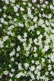 Bosque das flores brancas do Cerastium Agglomerated Ceraistium foto de stock