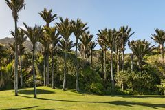 Bosque das palmeiras de Nikau foto de stock royalty free