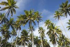 Bosque das palmeiras do coco que está no céu azul Imagem de Stock
