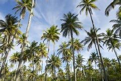 Bosque das palmeiras do coco que está no céu azul Imagens de Stock Royalty Free