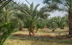 Bosque das palmeiras em kibutz do norte de Israel Imagens de Stock Royalty Free