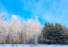 Bosque de árboles de hojas caducas y coníferos en invierno Foto de archivo
