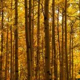 Bosque de árvores amarelas Fotografia de Stock Royalty Free