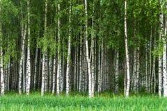 Bosque de árvores de vidoeiro imagens de stock royalty free