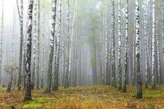 Bosque de árvores de vidoeiro e da grama seca no outono adiantado imagem de stock royalty free